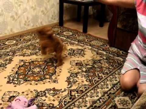 Собаки и щенки породы пудель. На доске объявлений olx беларусь легко и быстро можно купить щенка пуделя. Заведи друга прямо сейчас!
