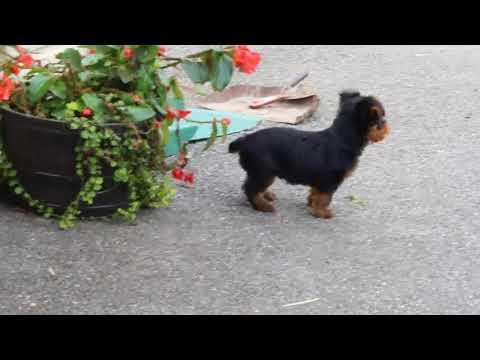Yorkshire Terrier Puppy For Sale Karen Hurst