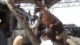 Афганец на плечо поднимает ишака в автобусе.