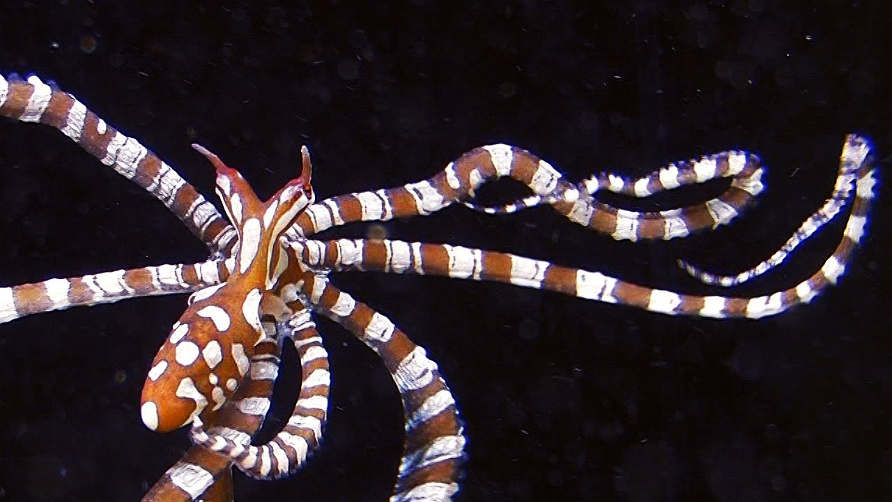 Wunderpus photogenicus in aquarium a beautiful small for Octopus fish tank