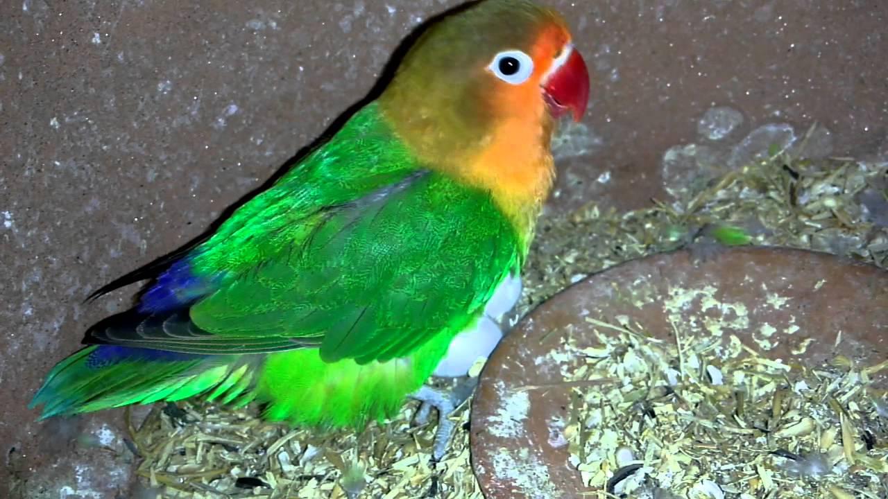 fischer lovebird eggs