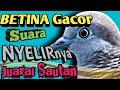 Suara Perkutut Betina Jenis Nyelirnya Terlihat Gesit Waduh Ga Ketulunga Gacornya  Mp3 - Mp4 Download