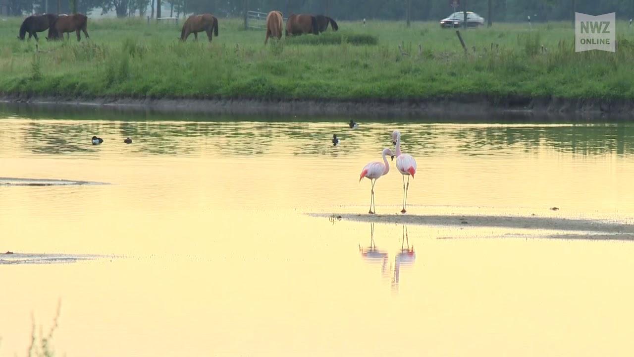 Herkunft der Braker Flamingos geklärt