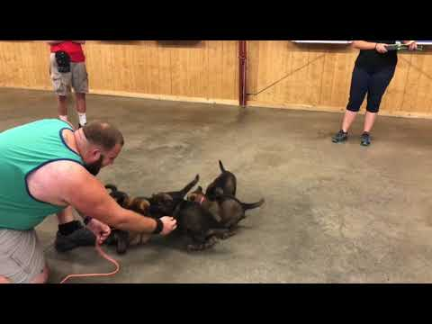 Dark Sable German Shepherd Puppies