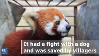 Wild red panda fights with dog in SW China village