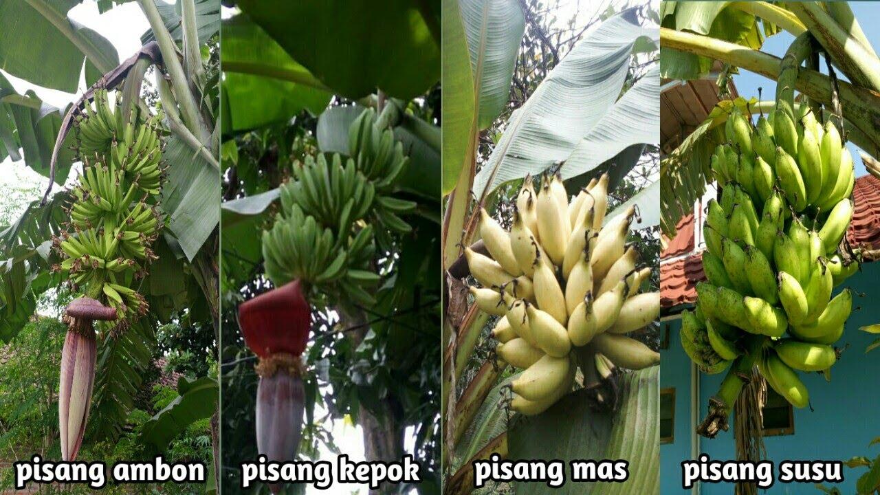 berbagai jenis pisang yang tumbuh dan berbuah disekitar kita ...