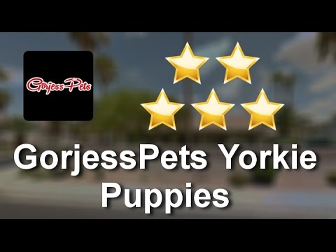 GorjessPets Yorkie Puppies Palm Beach          Perfect           5 Star Review by Dale C.