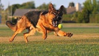 Роял канин сытный и полезный корм для собак Royal Canin породы немецкая овчарка