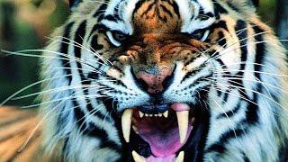 ТИГРЫ И ЛЕОПАРДЫ. Animal Planet