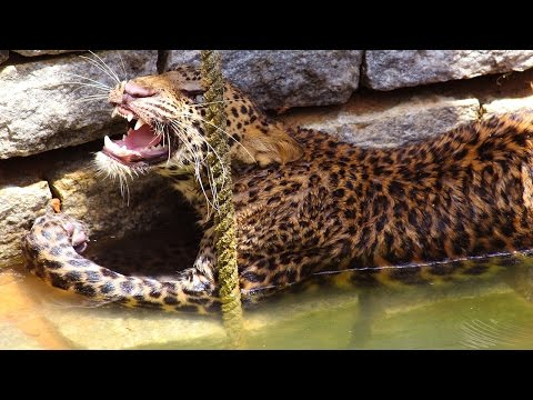 Wild Leopard Rescued From Well