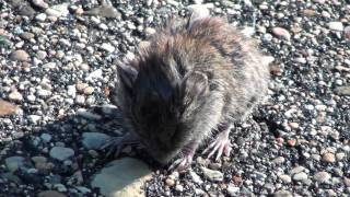 Southern Red-backed Vole (Cricetidae: Myodes/Clethrionomys gapperi) on Footpath
