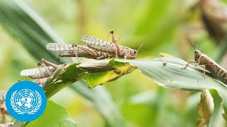 Fighting Locust Crisis in East Africa