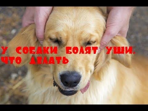 У собачки болит ухо