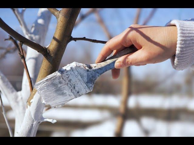 Почему важно белить деревья? Как побелка защищает от морозов?
