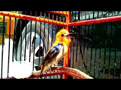 Kicau Burung Kemade Gacor Suara Super Keras Untuk Masteran