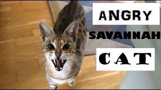ANGRY Savannah cat