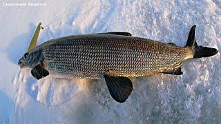 Решил поймать сига и вот что из этого вышло Рыбалка на Онежском озере Сиг по карельски