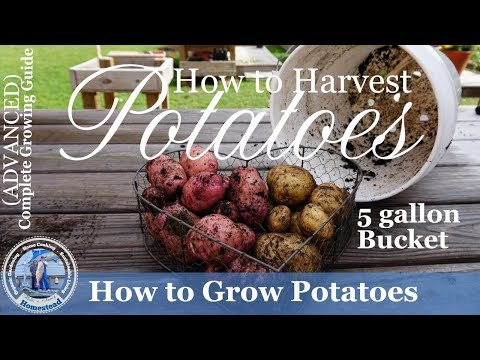 5 Gallon Bucket Grown Potato Harvest
