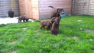 7 Weeks Old - Ruby's Chocolate Labrador Retriever Puppies