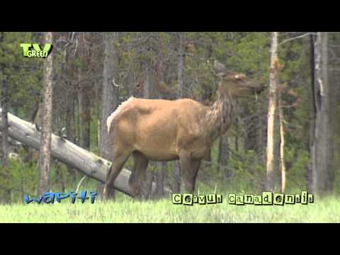 Wapiti in Yellowstone National Park - elk - cervus canadensis #01