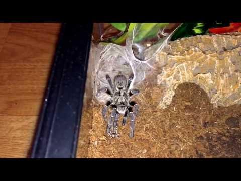 Mog the ceratogyrus darlingi and live prey care