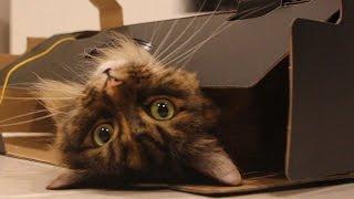 Cat in a box. Cat