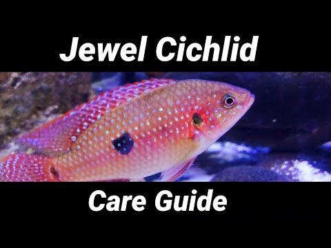 Jewel Cichlid Care Guide - Tank Mates, Size, Aggression