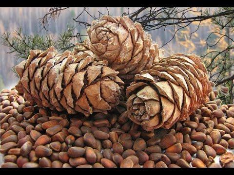 Как выглядит кедровый орех