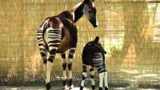 Okapi Facts - Facts About Okapis