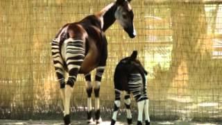 Okapi Facts - Facts About Okapis