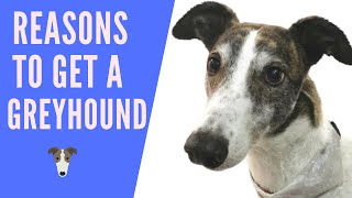Reasons to get a greyhound