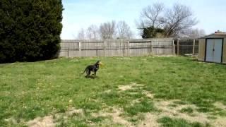 Shadow the Greyhound playing fetch.