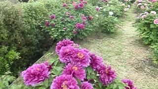 洛陽牡丹園(奈良県橿原市) 万葉の丘  Luoyang Peony in Kashihara-city Nara Japan
