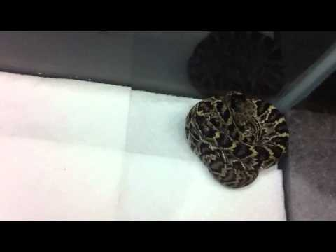 Eastern Diamondback baby update part two