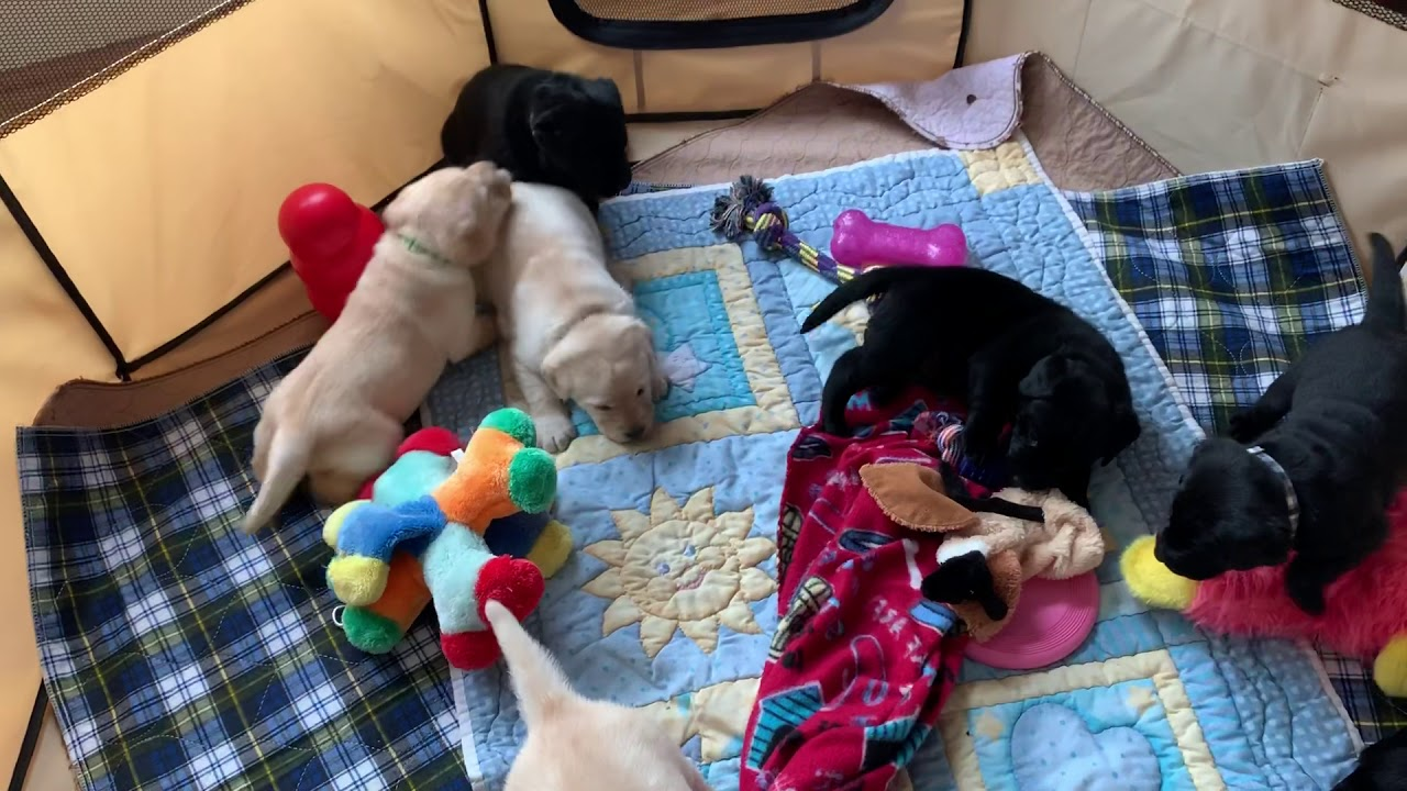 Simpson's Labrador Retrievers – Lab Breeder in Illinois