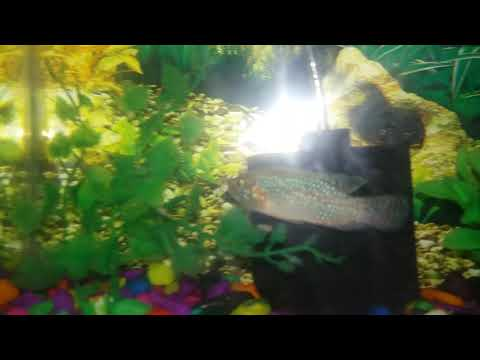 Jewel Fish Eating Meat