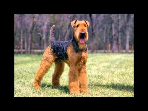 razas de perros Airedale terrier