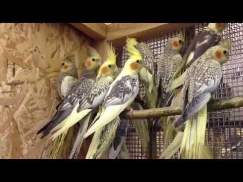 Попугай Корелла жемчужная (Nymphicus hollandicus)
