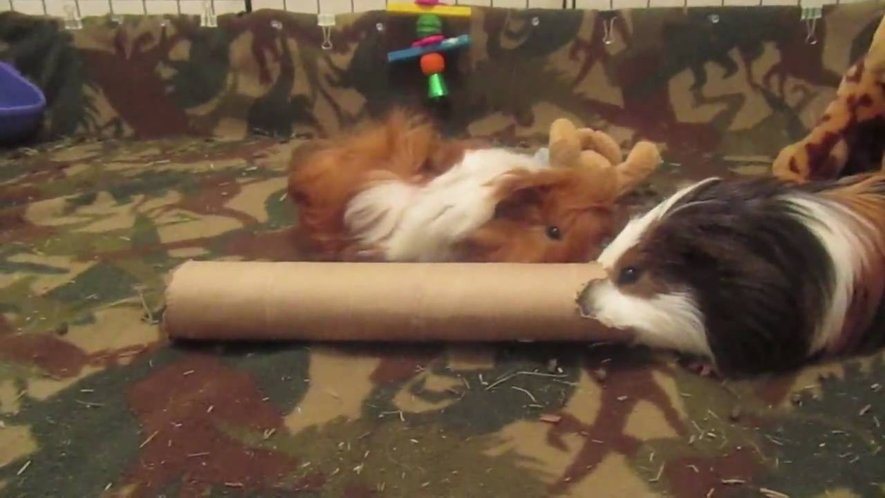 how to entertain your guinea pigs! - youtube