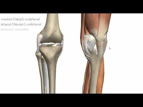 Knee Joint - Part 2 - 3D Anatomy Tutorial