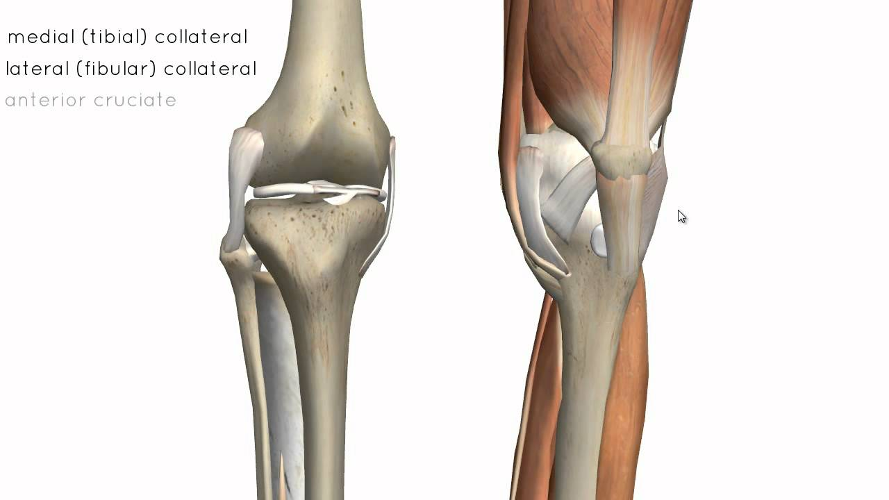 Knee Joint - Part 2 - 3D Anatomy Tutorial - YouTube
