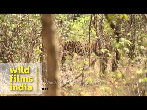 Victory over poaching: tigers are back in Panna!