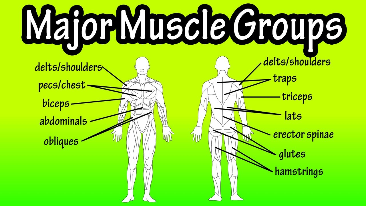 Major Muscle Groups Of The Human Body Youtube