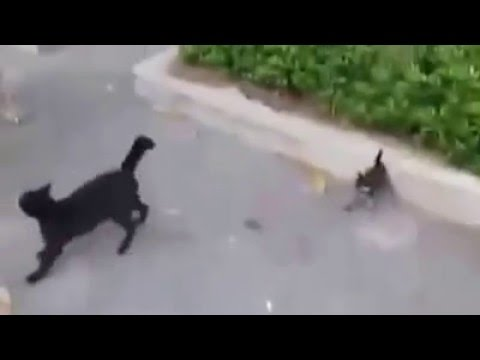 Warrior Cat saves its kid from Dog