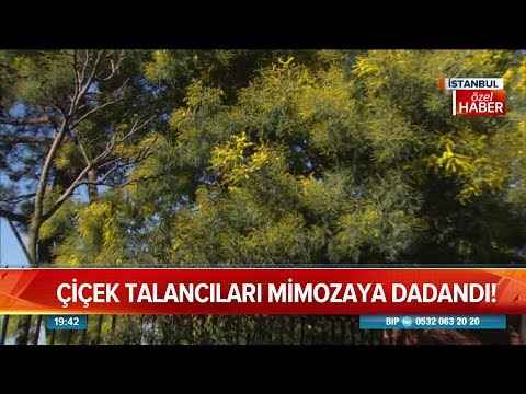 Çiçek talancıları mimozaya dadandı! - Atv Haber 17 Mart 2019