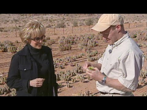Eating the hoodia plant
