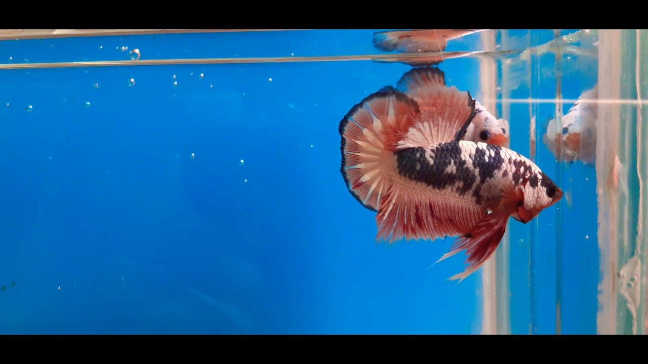 Ikan Cupang Fancy Copper Naik Daun, Sepasang Tembus Rp 3 ...