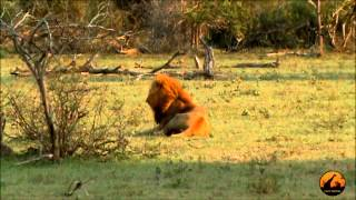 Mega Pride (17+) of Lions - 29 September  2012 - Latest Sightings