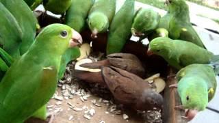 Periquitos verde