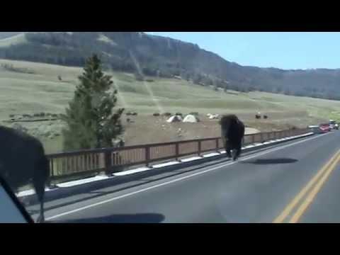 Bison charge across Yellowstone bridge Lamar Valley